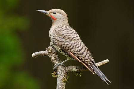 Northern Flicker is a medium-sized member of the woodpecker family. 版權商用圖片