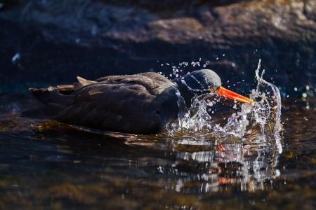 eye catcher: Black Oystercatcher  Haematopus bachmani  splashing at Oregon Coast Aquarium, Newport, Oregon  Stock Photo