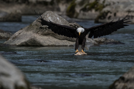 haliaeetus leucocephalus: Bald Eagle (Haliaeetus leucocephalus). Bald Eagle is a bird of prey found in North America