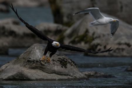 curved leg: Bald Eagle (Haliaeetus leucocephalus). Bald Eagle is a bird of prey found in North America