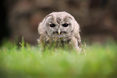 tawny owl: Tawny Owl gray grass in the wild