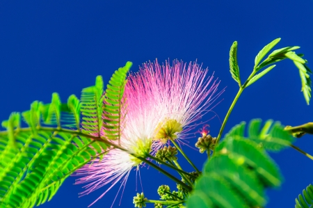 Albizia blossom in the azure sky photo