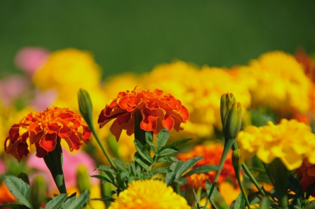 tagetes: Tagetes flowers  in macro Stock Photo