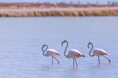 Flamingos walking in the salt lake, Spain