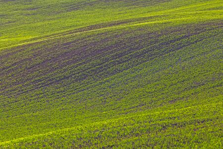 Rolling hills of green wheat fields. Amazing fairy minimalistic landscape with waves hills, rolling hills. Abstract nature background. Lithuania
