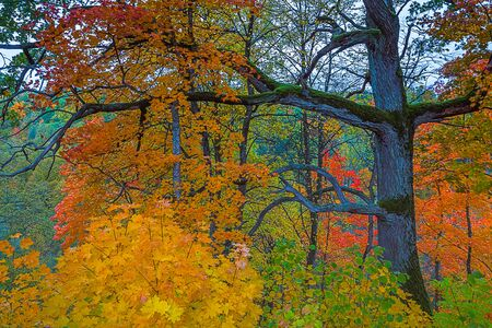 Colorful yellow forest in Autumn, Lithuania