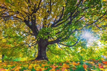 Autumn landscape under mapple tree. Colorful foliage in the fall park, Lithuania