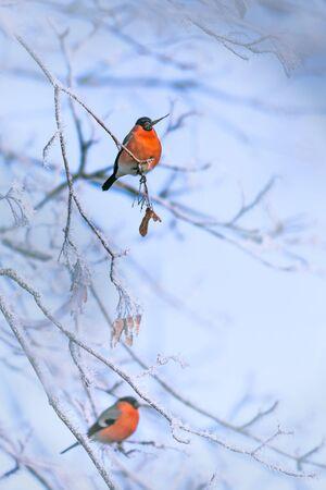 Bird on a frosty branch, winter background image