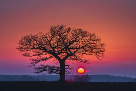 Oak tree silhuette with red sunset in the horizon Фото со стока