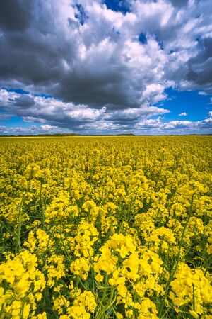 Rape field and blue sky with clouds in summer