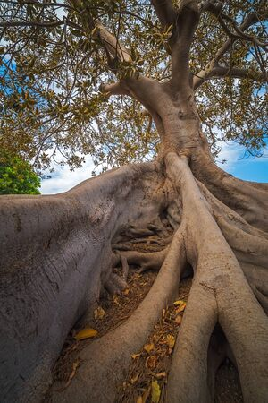 Roots of a tree in Cartagena, Spain, vertical image