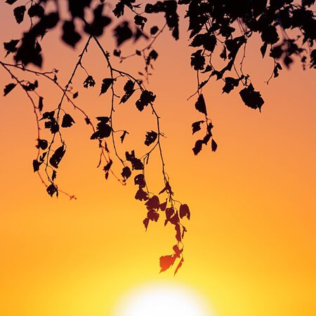 Tree branches against the backdrop of a sunny sunset on the horizon. Natural landscape. Background image.