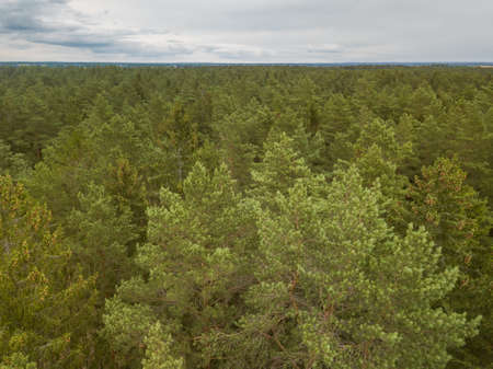 Green pine forest in the evening, aerial view