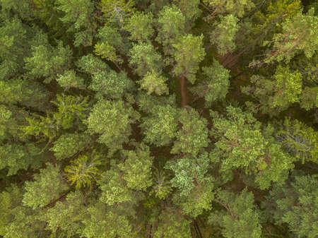 Green pine forest in the evening, aerial view Banco de Imagens - 151739596