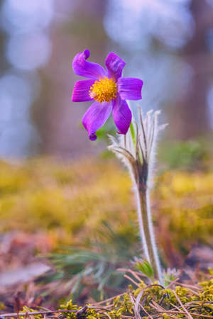 Pulsatilla patens common names include Eastern pasqueflower, prairie crocus, and cutleaf anemone in spring forest