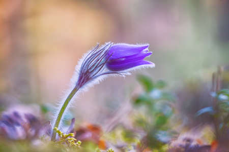 Pasqueflowers blooming at spring in the forest