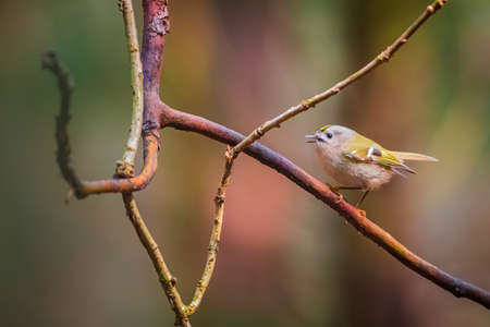 The Goldcrest, Regulus regulus, is a very small passerine bird in the kinglet family