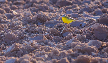 Yellow Wagtail bird, Motacilla flava in the field of rough ground