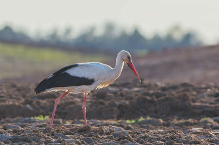 White Stork Ciconia ciconia in meadow, Lithuania - Europe