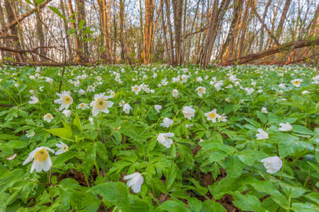 Spring forest and landscape with white windflowers