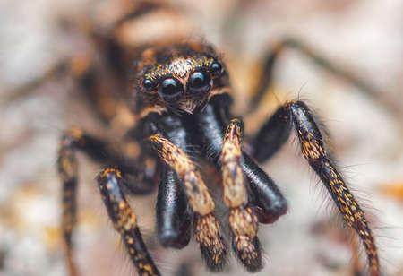 Jumping spider male Salticus cingulatus. Eyes of Salticus cingulatus. Funny portrait of spider
