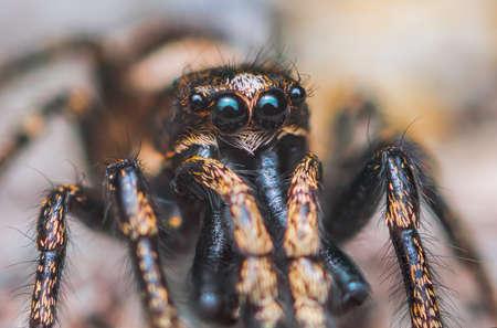 Jumping spider Salticus cingulatus. Eyes of Salticus cingulatus. Funny portrait of spider Banco de Imagens