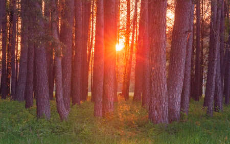 Magic evening red light in the forest with sun rays.