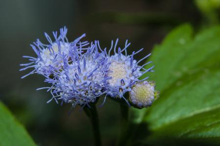 pollens: violet pollens seeding