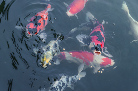 japanese koi: feed for koi