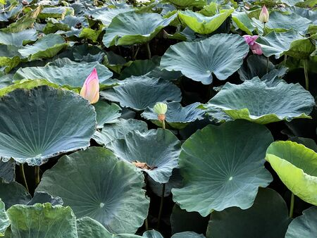 Pink lotus flowers with their green leaves on tarn.