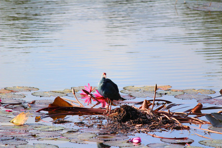 waterbird: A bird on a lotus plant in a lake