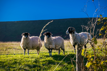 Three Sheep On English farm. Summer. Forest Of Bowland, Lancashire, England UK