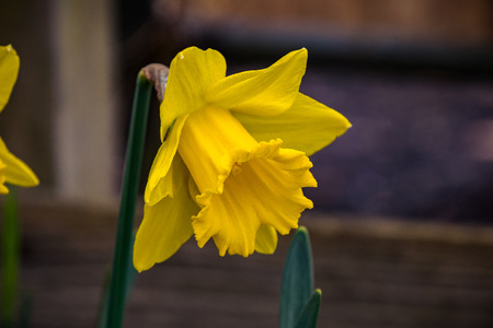 Yellow narcissus in spring (Narcissus poeticus)