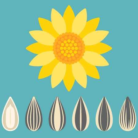 sunflower seed: sunflower and sunflower seed, flat design Illustration