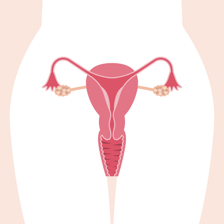 A Vector female reproductive system, flat design Illustration