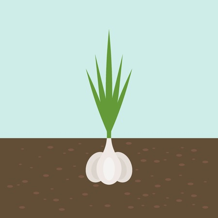 garlic, vegetable with root in soil texture, flat design