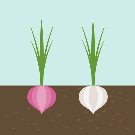 onion and red onion, vegetable with root in soil texture, flat design Illustration
