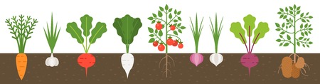 vegetable with root in soil texture, flat design Illustration
