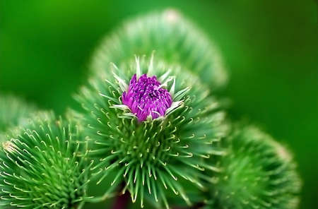 mead: teasel,  teazle,  thistle,  green,  violet,  spike,  summer,  meadow,  mead,  grass-land,