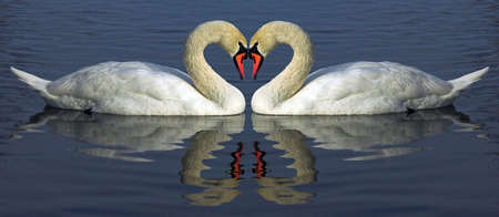brim: art, arm, bird, blue, brim, cob, day, fraction, heart, leaf, neck, red, swan, swan neck, swim, two, valentines, white, wing, reflection,