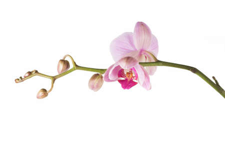 beautiful pink orchid - phalaenopsis,  on white backgraund,