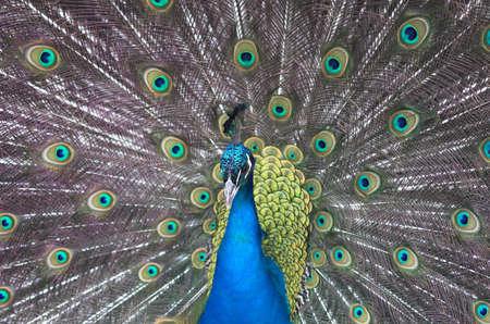 coma: bird, brush, coma, eye, open, park, peacock, scut, tail, train,