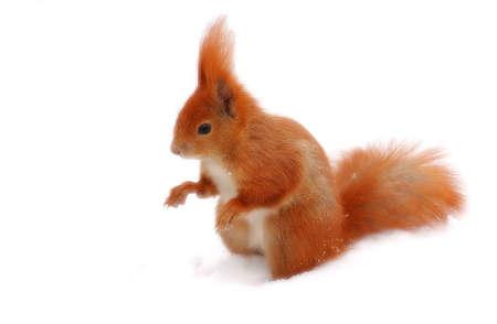 roedor: animal; mam�fero; rojo; roedor; nieve; ardilla; penacho; espera para; invierno; coma la nieve; blanco; backgraund; aislado, Foto de archivo