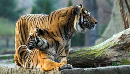 tigresa: tigre, un zool�gico, gatos, gato, belleza, vida silvestre, de color blanco, felino, negro, la naturaleza, el patr�n, siberiano, rayas, tigress, grandes, de bengala, tigres, el bostezo, la lengua, el gato mont�s, la agresi�n, el d�a, sentado, abajo, temas, carn�voro, cautiverio, �frica, uno, los dientes, dark, cazador, enojado  Foto de archivo