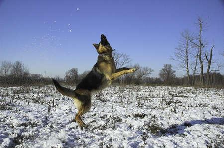 rin: dog, german, pet, shepherd, blue, canine, cold, cute, dog, ears, german shepard, head, hound, jump, mans best friend, play, police, puppy, rin tin tin, sky, teeth, winter
