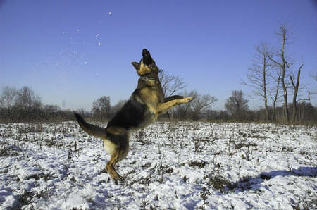 perro, alem�n, mascota, pastor, azul, canina, el fr�o, lindo, perro, orejas, alem�n Shepard, cabeza, perro, saltar, el hombre el mejor amigo, el juego, la polic�a, el cachorro, Rin Tin Tin, cielo, los dientes, invierno Foto de archivo - 669140