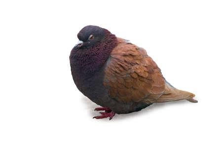 ornithology: dove, pigeon, wing, bird, feather, balance, coo, peace, fly, flight, hunt, wave, ornithology, urban, backgraund, withe, isolate