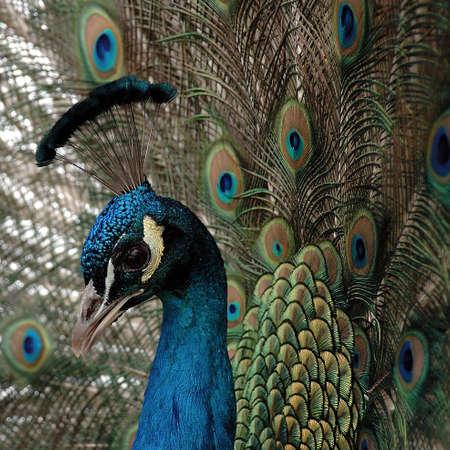 coma: bird; brush; coma; eye; open; park; peacock; scut; tail; train