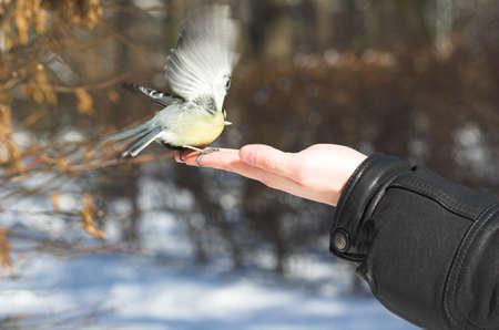 caeruleus: oto�o, aves, azul, ramas, caeruleus, cute, plumas, los bosques, mousetit, natural, la naturaleza, al aire libre, fuera, Parus, teta, vida silvestre, alas, de invierno, el amarillo, la mano, comer, hombre,