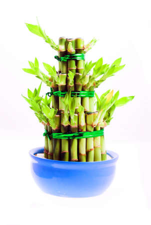asia, asian, asiatic, bamboo, bambu, canes, chi, china, chinese, decoration, dracaena, east, energy, feng, fengshui, flora, fortune, green, growth, harmony, houseplant, isolated, leaves, luck, lucky, new, orient, oriental, plant, porcelain, positive, pot,